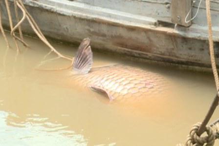 Bắt Được Cá Hô Vàng Giá 300 Triệu Ở Sông Cổ Chiên, Mang Thít, Vĩnh Long. Hình  Ảnh Cá Hô Trước Khi Được Đưa Vào Bờ